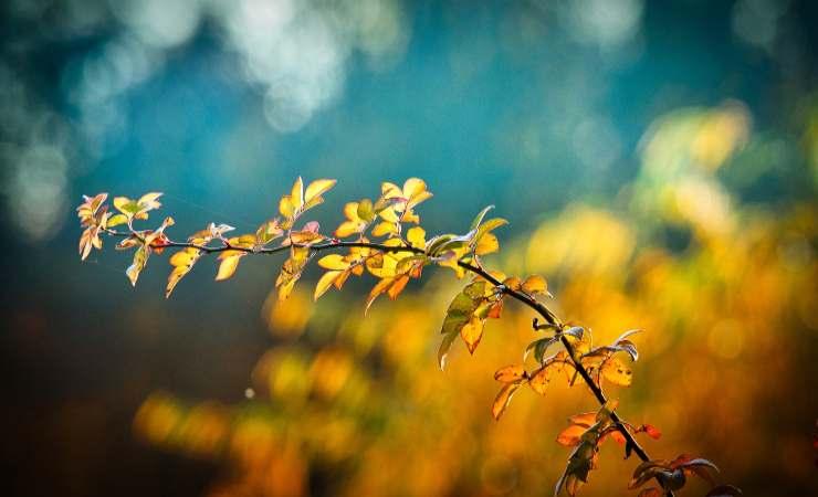 piante foglie gialle limone