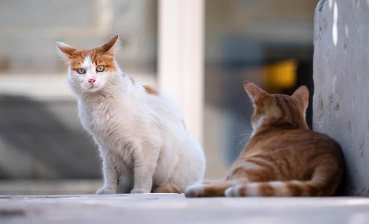 coda abbassata gatto