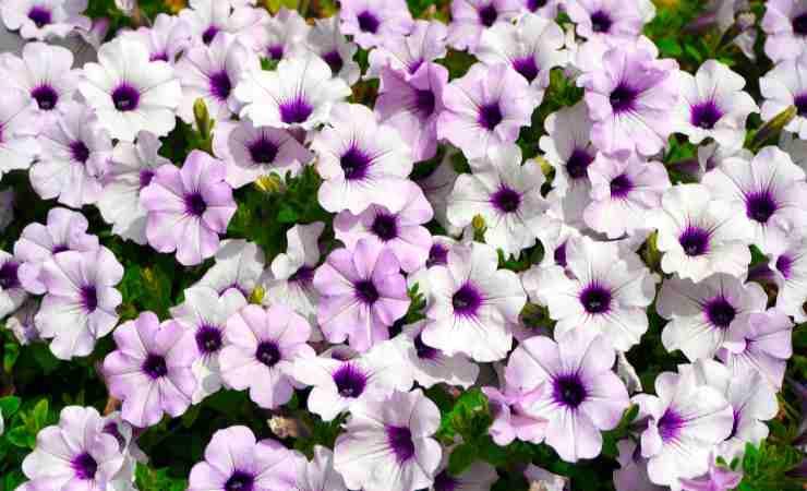 fiore balcone